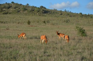 Antylopy Safari w Kenii