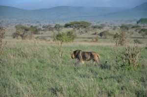 Lew Safari w Kenii