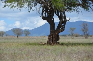 Lwica Safari w Kenii