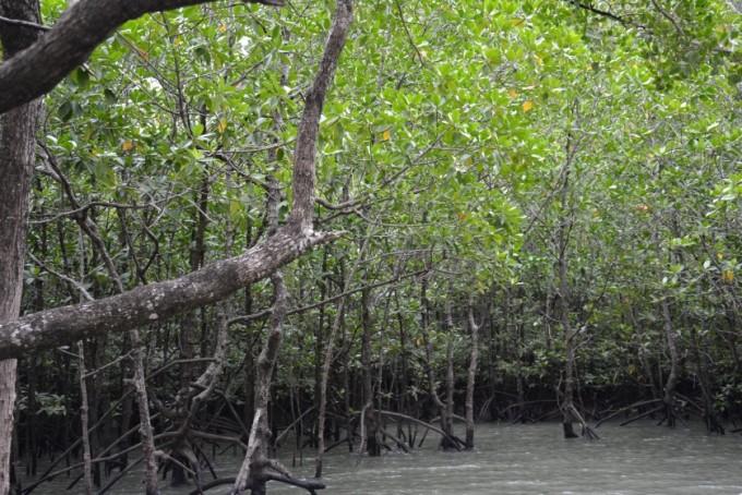 Phang Nga w lesie namorzynowym Tajlandia