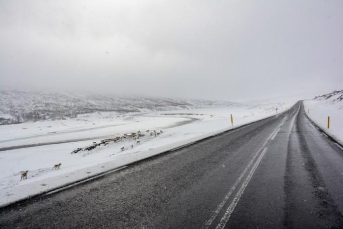 Renifery przy drodze za Egilsstadir Islandia