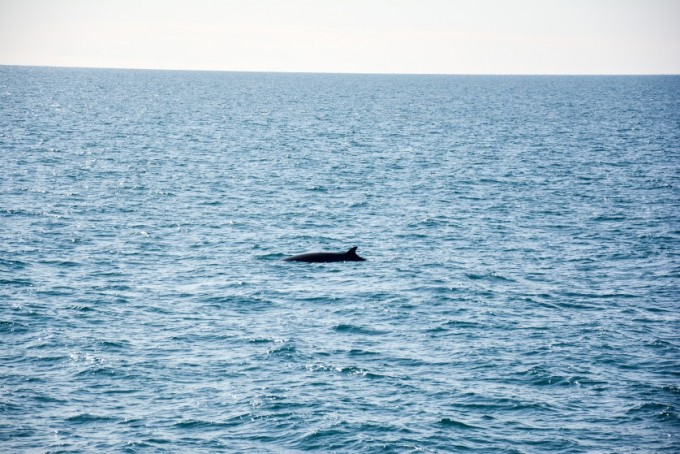 Wieloryb Islandia