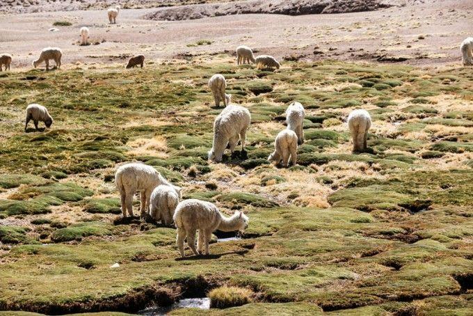 Alpaki wycieczka do kanionu Colca