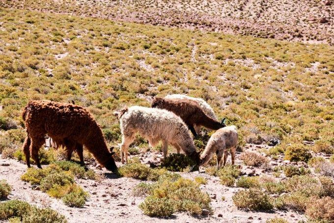 Lamy wycieczka na gejzery El Tatio Chile