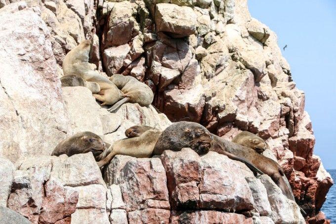 Lwy morskie 3 Islas Ballestas Peru