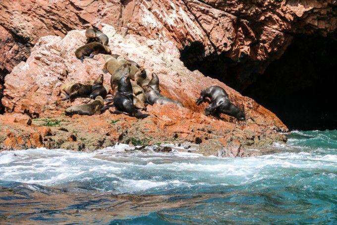 Lwy morskie Islas Ballestas Peru