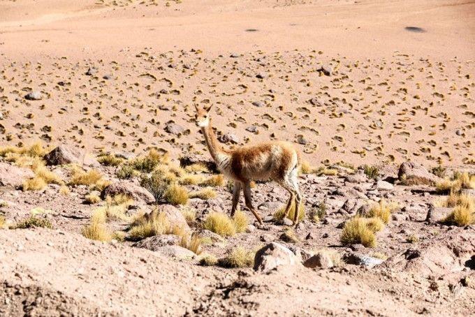 Wikunia wycieczka na gejzery El Tatio Chile