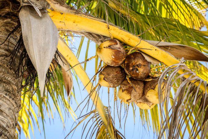 Palma kokosowa Cayo Blanco
