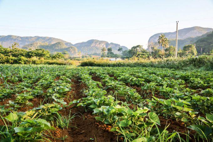 Plantacje tytoniu Dolina Vinales
