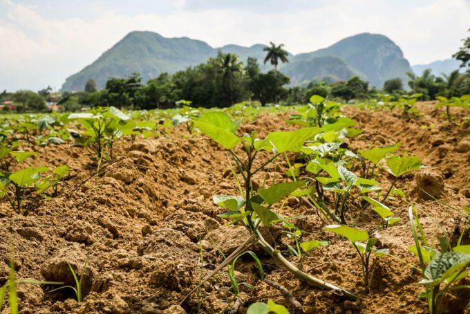 Plantacje tytoniu w Dolinie Vinales