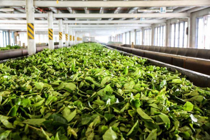 Fabryka herbaty Sri Lanka Nuwara Eliya