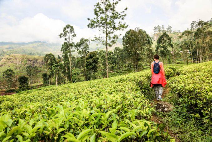 Na plantacji herbaty Sri Lanka 2