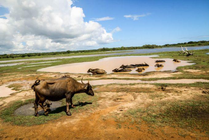 Park Narodowy Yala 11