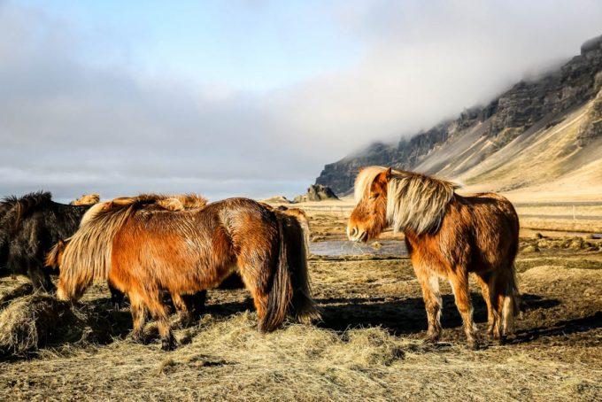 Islandia dzikie konie