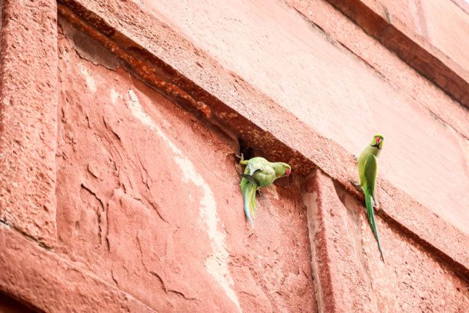 Indie Agra Taj Mahal papugi