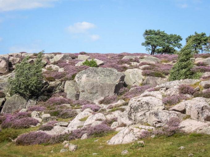 Bornholm pola wrzosowe 2