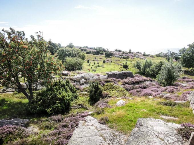 Bornholm pola wrzosowe 3