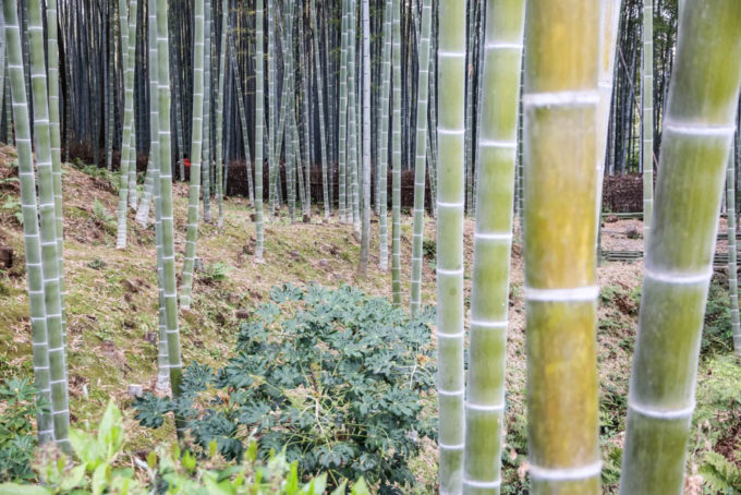 Las bambusowy Kioto