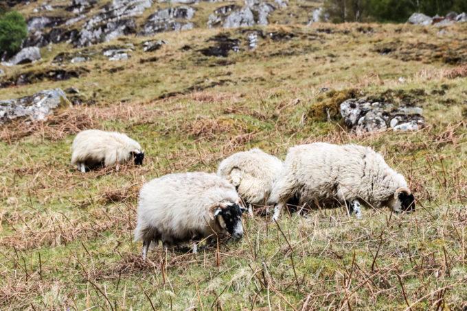 Owieczki Ben Nevis