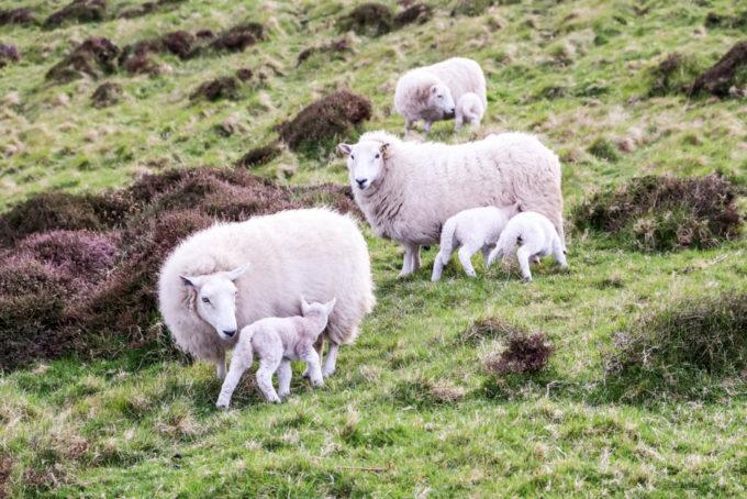 Owieczki Skye Szkocja