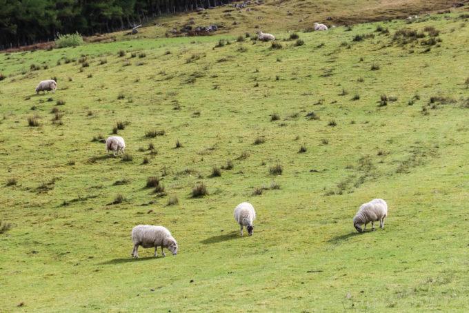 Owieczki przy szlaku na Ben Nevis