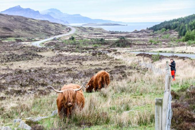 Szkockie Krowy