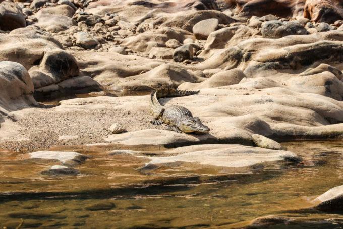 Rafting po rzece Kunene krokodyl 2