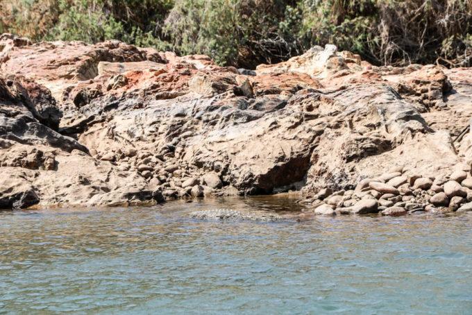 Rafting po rzece Kunene krokodyl