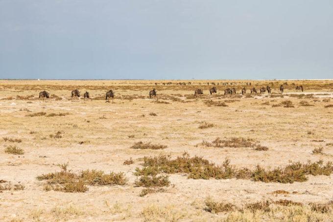 Safari w PN Etosha antylopy