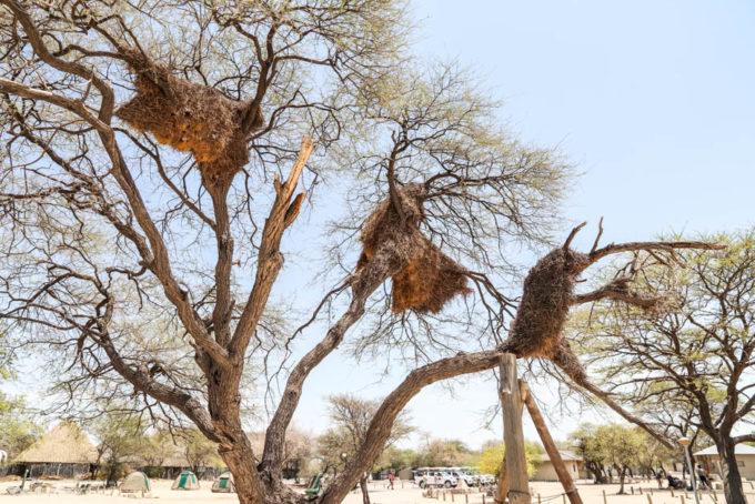 Safari w PN Etosha domy tkaczy