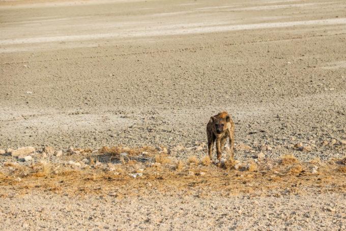 Safari w PN Etosha hiena
