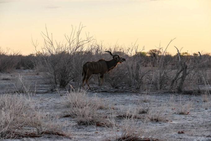 Safari w PN Etosha kudu