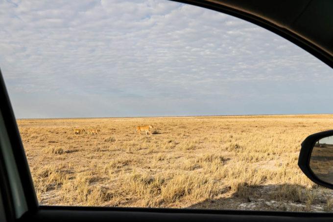 Safari w PN Etosha lwy obok auta