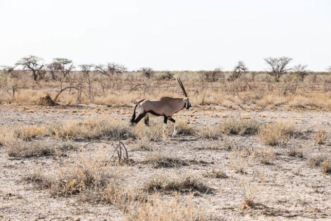 Safari w PN Etosha oryx