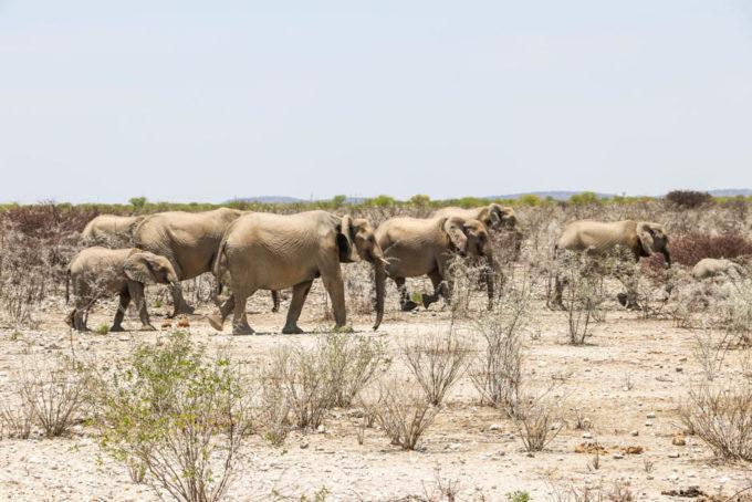 Safari w PN Etosha rodzina słoni