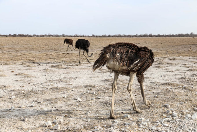 Safari w PN Etosha strusie