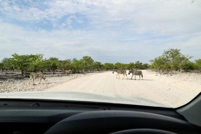Safari w PN Etosha zebry przed autem