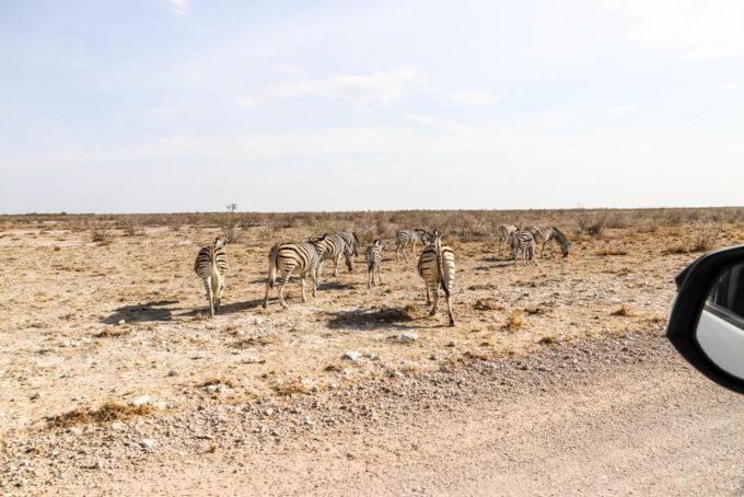 Safari w PN Etosha zebry uciekają od auta