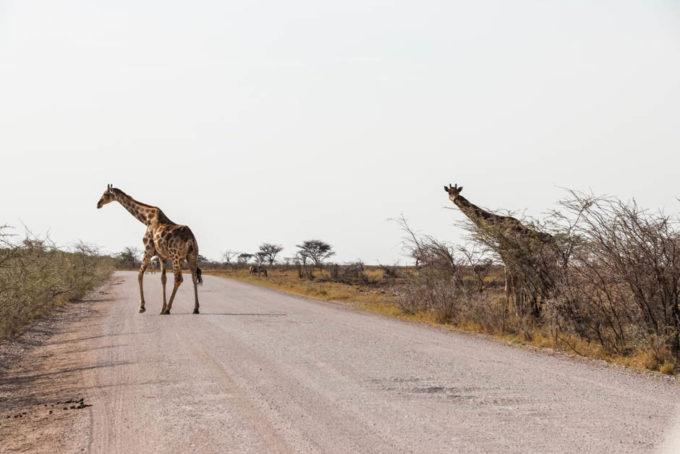 Safari w PN Etosha żyrafy przechodzą przez drogę